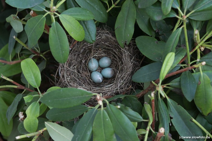 vier bläuliche Eierchen!