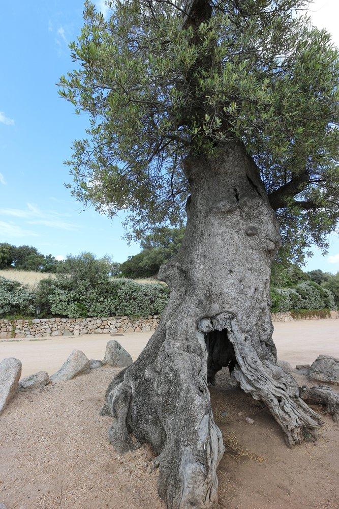 alte Olivenbäume und neue Reben